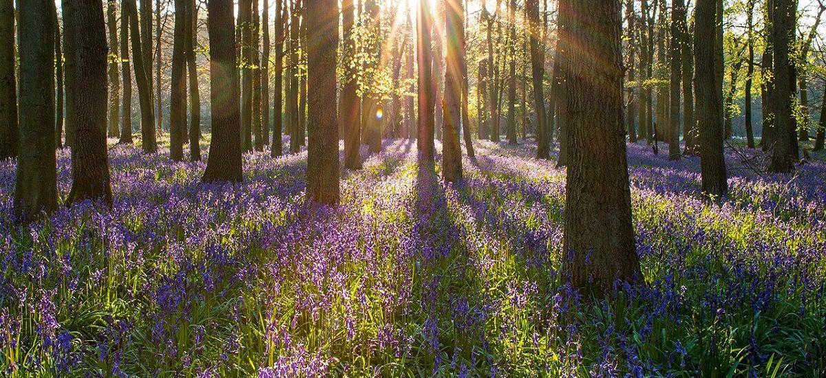 Bluebell Walks in Berkshire for Families
