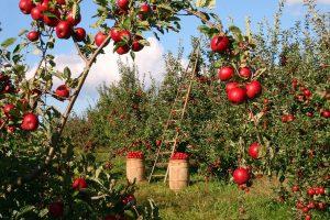 Thatcham Community Orchard Apple Day 14 october 2018 berkshire